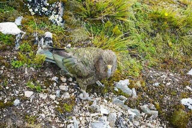 Kea on the Kepler Track Looking to fly away with our stuff